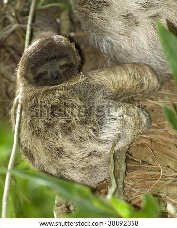 juvenile three toe sloth in tree, costa rica - stock photo
