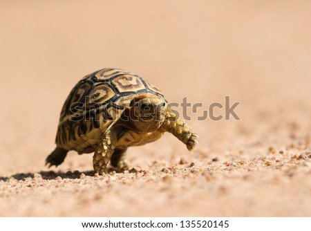 Juvenile tortoise giving a step