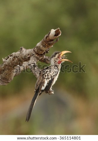 Juvenile Yellow-billed hornbill Tockus flavirostris, perched on dead tree in eye level with large insect in its beak. Spotted feather, soft light, green blurred background,South Africa.   - stock photo