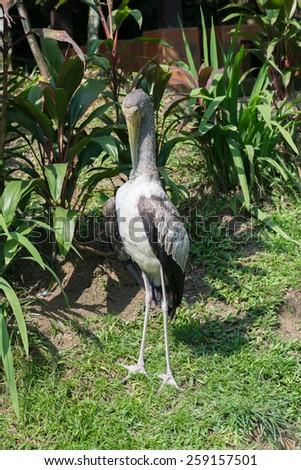 Juvenile Yellow billed stork, (Mycteria ibis) - stock photo