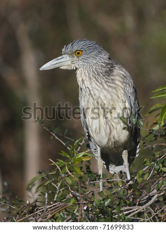 Juvenile Yellow-crowned Night Heron, Nyctanassa violacea, on mangrove sticks over wetlands