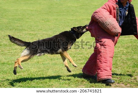 K9 dog in action on training, attack demonstration - stock photo