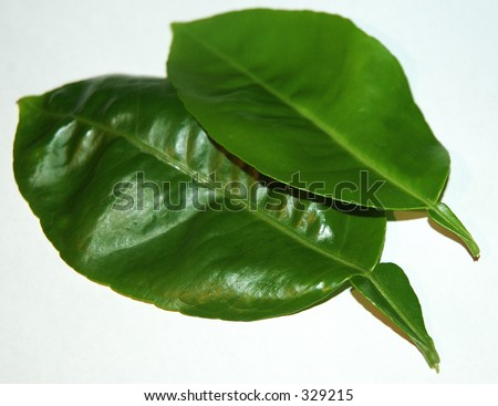 Kaffir lime leaves (Citrus hystrix), a common ingredient of Southeast Asian and Indian cuisines