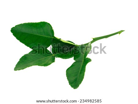 Kaffir lime leaves isolate on white,Asian ingredients food,group of Tomyum(Thai food) seasoning ingredients - stock photo
