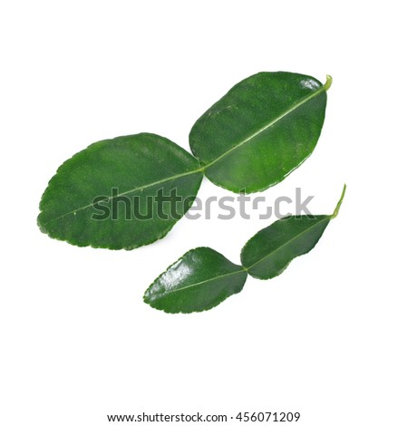 Kaffir lime leaves isolated on white background - stock photo