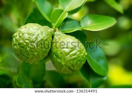 Kaffir Limes - stock photo