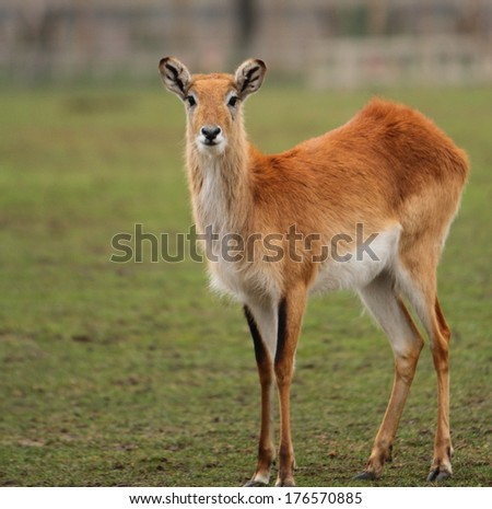 Kafue Flats Lechwe - stock photo
