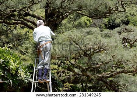 KAGAWA, JAPAN - MAY 20 : Japanese professional gardener pruning a pine tree with shears, standing on a stepladder on May 20, 2015, Ritsurin Garden, Kagawa, Japan - stock photo