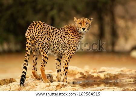 Kalahari cheetah drinking water - stock photo