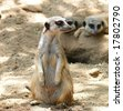 Kalahari Meerkat - stock photo