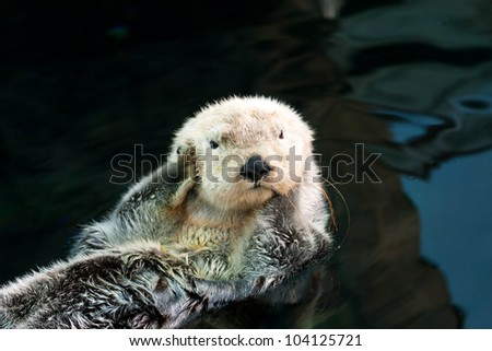 Kalan (sea otter) floats on the back and covers his ears paws - stock photo