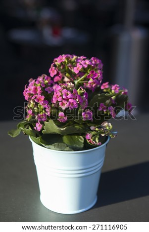 Kalanchoe blossfeldiana is a herbaceous and commonly cultivated house plant of the genus Kalanchoe native to Madagascar. - stock photo