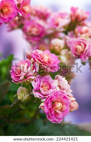 kalanchoe flower - stock photo