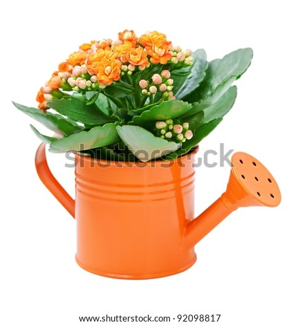 Kalanchoe flower in a orange water-pot isolated on white . - stock photo