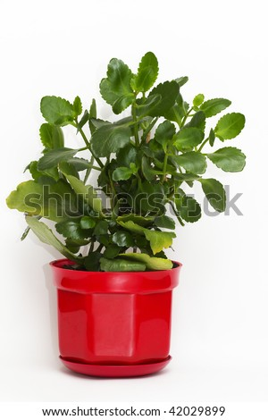Kalanchoe plant in the red plastic flower-pot - stock photo