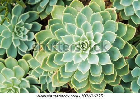 Kalanchoe - Rose of desert - stock photo