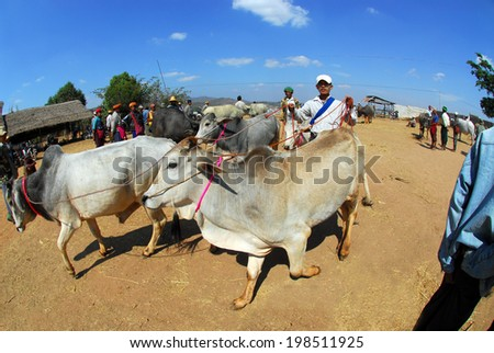KALAW,MYANMAR-FEBRUARY 2 : Unidentified people bringing his ox for sell to traditional buffalo and ox market on February 2,2014 in Kalaw city,Middle of Myanmar.