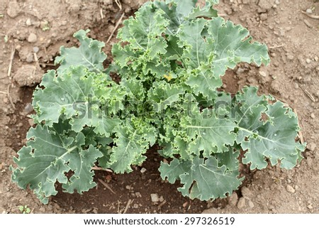 Kale crop in a garden.
