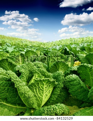 kale field and sky - stock photo