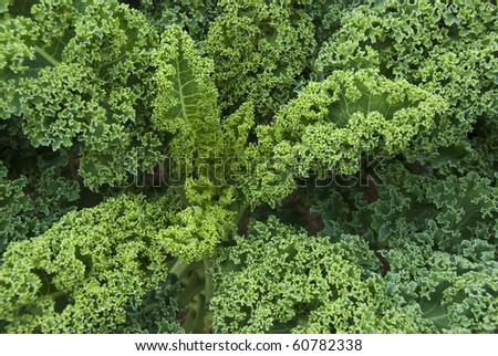 Kale plant top in a community garden, looking down towards the center. - stock photo