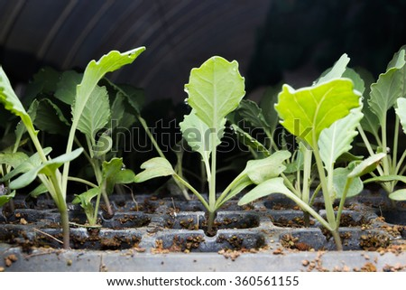 Kale seedlings vegetable in plastic tray - stock photo