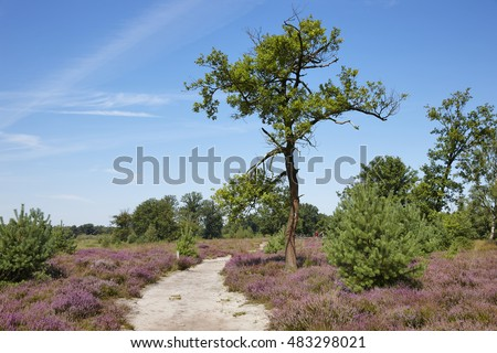 Kampina heath between Oisterwijk and Boxtel, province of Noord-Brabant, the Netherlands