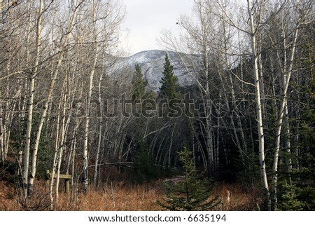 Kananaskis country, Alberta, Canada; Late fall in the Rocky Mountains; white poplar trees, spruce trees, trail and snow-topped mountain in the background; clouds - stock photo