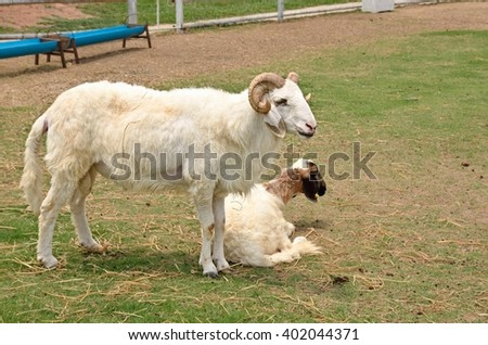 Kanchanaburi, THAILAND - APRIL 03,2016.Woolly Sheep in a Green Field