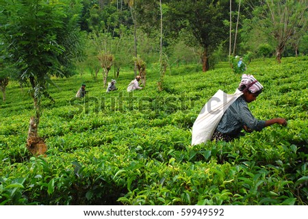 KANDY, SRI LANKA - DEC 4: Tamil women tea pickers at the plantation Dec 4, 2008 in Kandy, Sri Lanka. At this very time Government troops started attacking Tamil militants in the North of Sri Lanka - stock photo