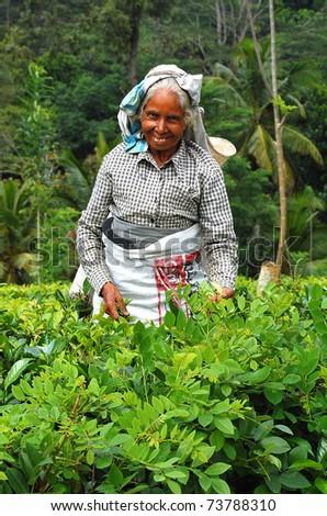 KANDY, SRI LANKA - DECEMBER 4: Smiling aged Tamil tea picker at work December 4, 2008 near Kandy, Sri Lanka. - stock photo