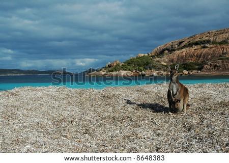 Kangaroo and its joey on a beautiful beach - stock photo