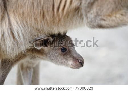 kangaroo baby - stock photo