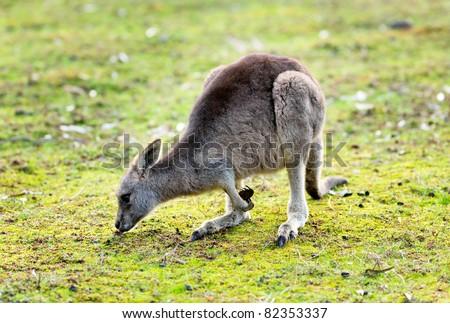 Kangaroo eating grass - stock photo