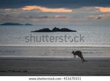 Kangaroo hopping at Cape Hillsborough beach at dawn, North East Australia - stock photo