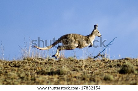 Kangaroo hopping over horizon in search of freedom - stock photo