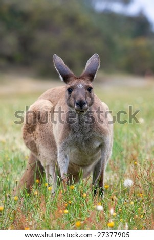 Kangaroo in early morning at a golf course in albany. - stock photo