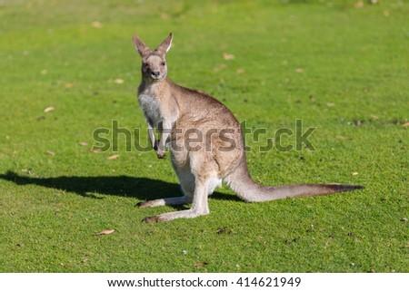 Kangaroo in East Coast Natureworld. Tasmania, Australia - stock photo