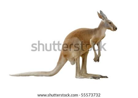 kangaroo isolated - stock photo