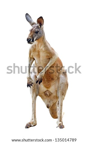 kangaroo isolated on white background - stock photo