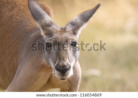 Kangaroo looks, Adelaide, Australia - stock photo
