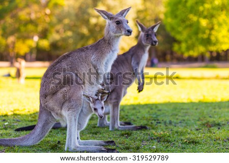 Kangaroo Mother and Baby in Pouch - stock photo