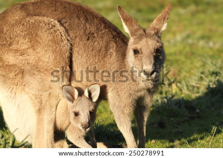 Kangaroo mother and Joey looking out of Pouch