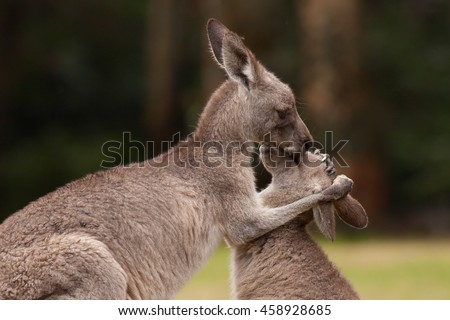 Kangaroo mother being affectionate to baby
