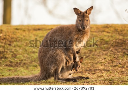 Kangaroo Mother, Common wallaroo (Macropus robustus), with a Baby Joey in the Pouch - stock photo
