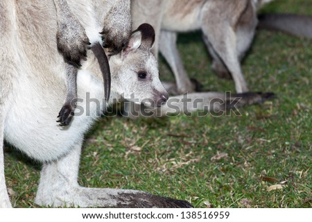 Kangaroo mother with joey in pouch on open grassland at coastal new south wales australia