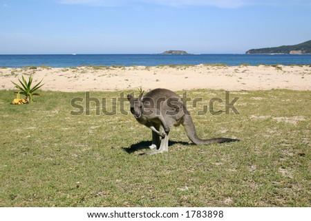 Kangaroo on the beach, Australia - stock photo