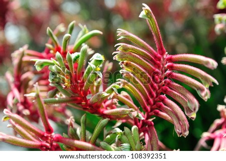Kangaroo paw plants on display - stock photo