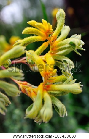 Kangaroo paw plants on display in the Flower Dome at Gardens by the Bay Singapore - stock photo