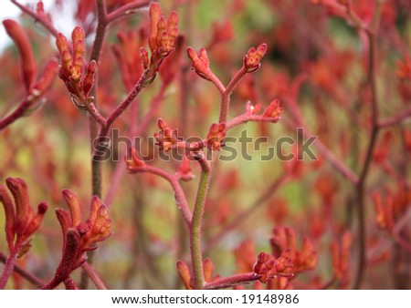 Kangaroo paw, the  floral symbol of the State of Western Australia - stock photo