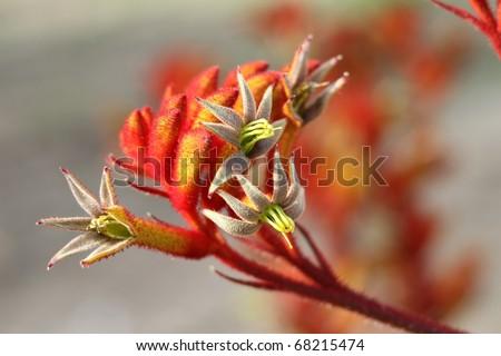 Kangaroo paws flowers - stock photo
